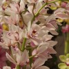 Reblooming Cymbidium Orchids