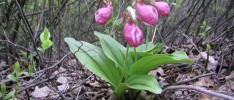 Cypripedium_acaule