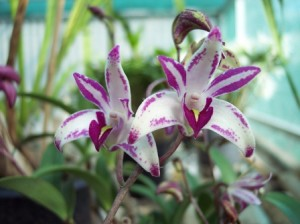 Dedrobium Orchids Mistakes