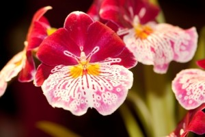 Miltonia Orchids Tips