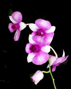 Orchid Growers
