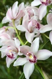 Orchid Care Cymbidiums