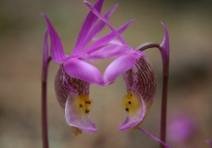 Pollenating Calypso Orchids