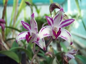 Dendrobium Orchid Care