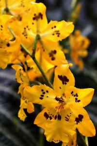 Odontoglossum Orchid Care