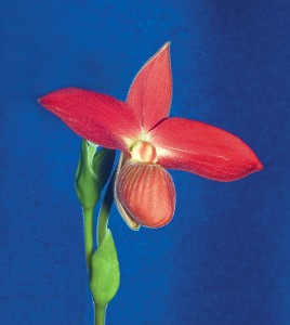Phragmipedium Orchid Care