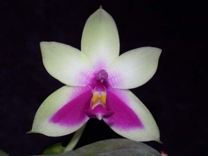How to Get Phalaenopsis Orchids to Rebloom