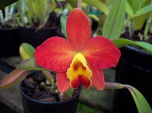 Cattleya-Orchid